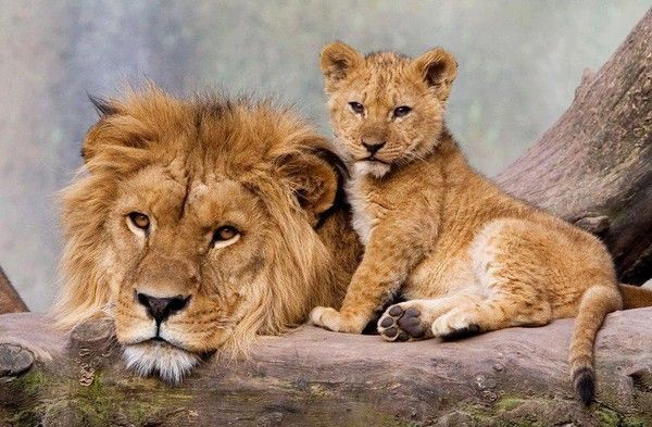 Flash Lions